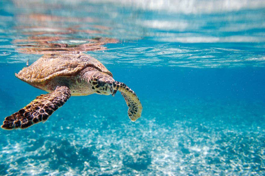 carey-turtle-by-the-sea-in-dominican-republic